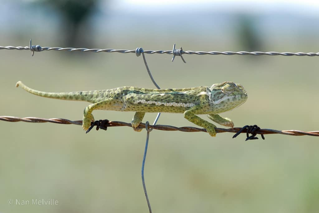 Chameleon on barbed wire fence, Kimberley, South Africa.