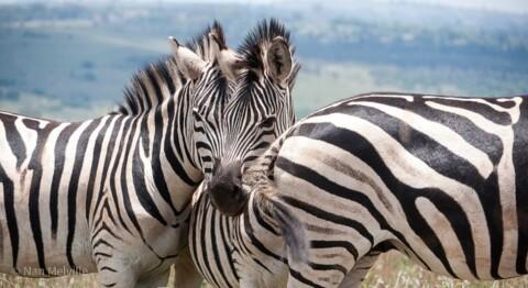 Zebras in Pretoria, South Africa.